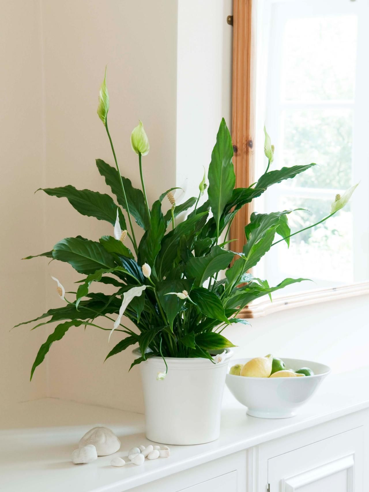 Peace lily care tips peace lily care lily care and peace lily great tips from hgtv on peace lily care izmirmasajfo Image collections