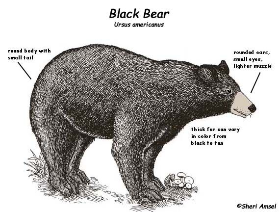 Black Bear Body Diagram
