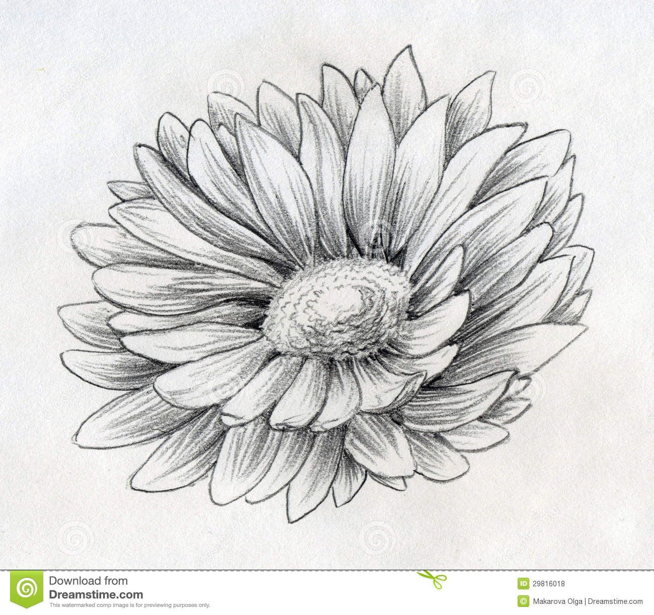 Daisy drawings pencil drawn sketch of a single daisy flower with
