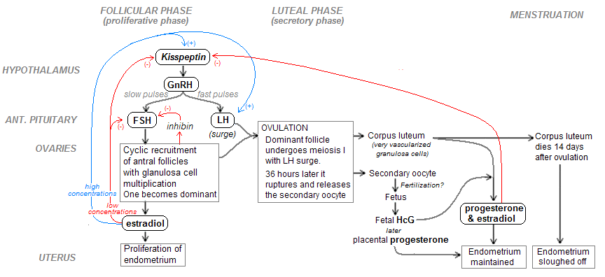 flow chart of menstual cycle: Menstrual cycle hormones flow chart google search nutritionist