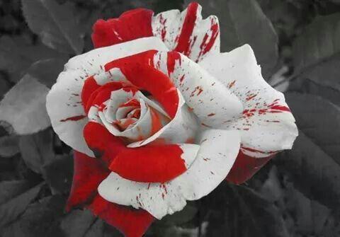 ROSA PINTADA. Vermelho e branco