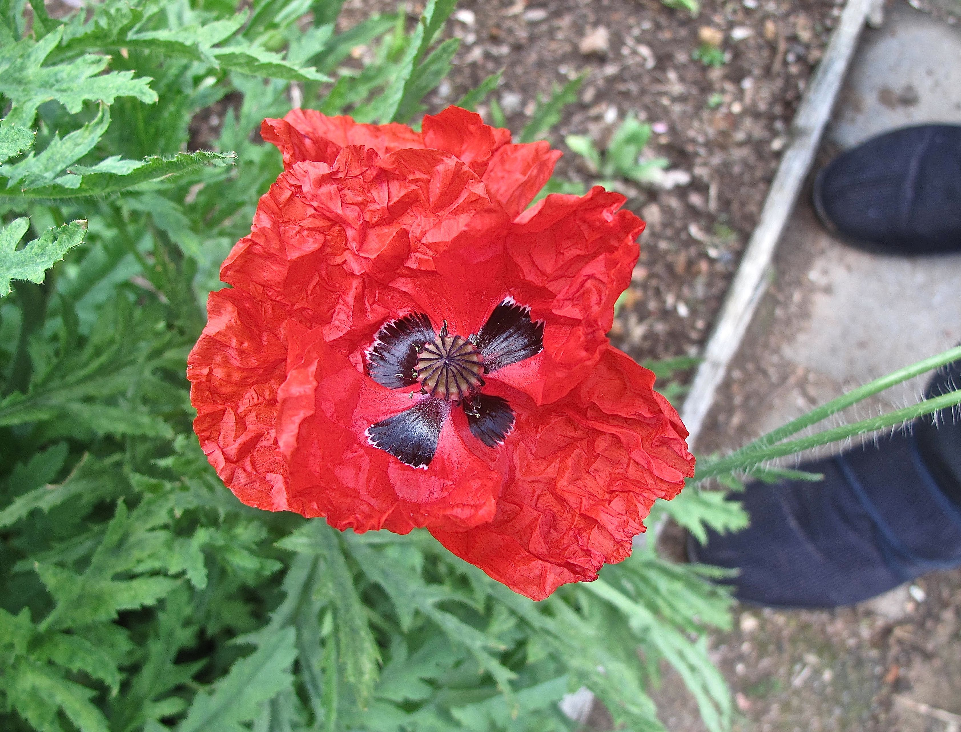 Our Flanders Poppy Flowers Plants In Our Garden Pinterest