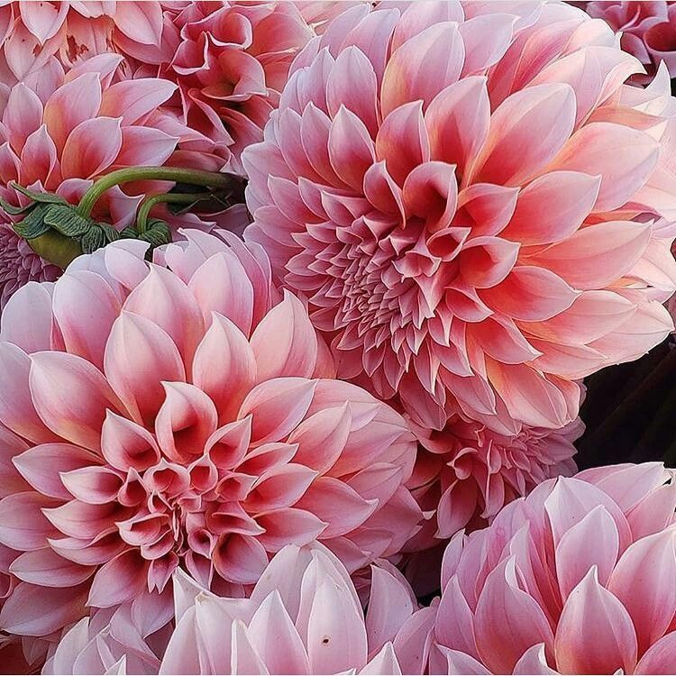 Oh those Dahlia's! 😍 Did you know the dahlia was declared