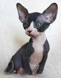 I Have Cute Sphynx Kittens For Adoption They Are Both Already