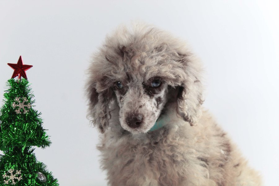 Home Twitter Www Forevercountrypuppies Com Moyen Female Poodle Merle Poodle With Blue Eyes Poodles Poodle Puppies For Sale Poodle Puppy Cute Puppy Pictures
