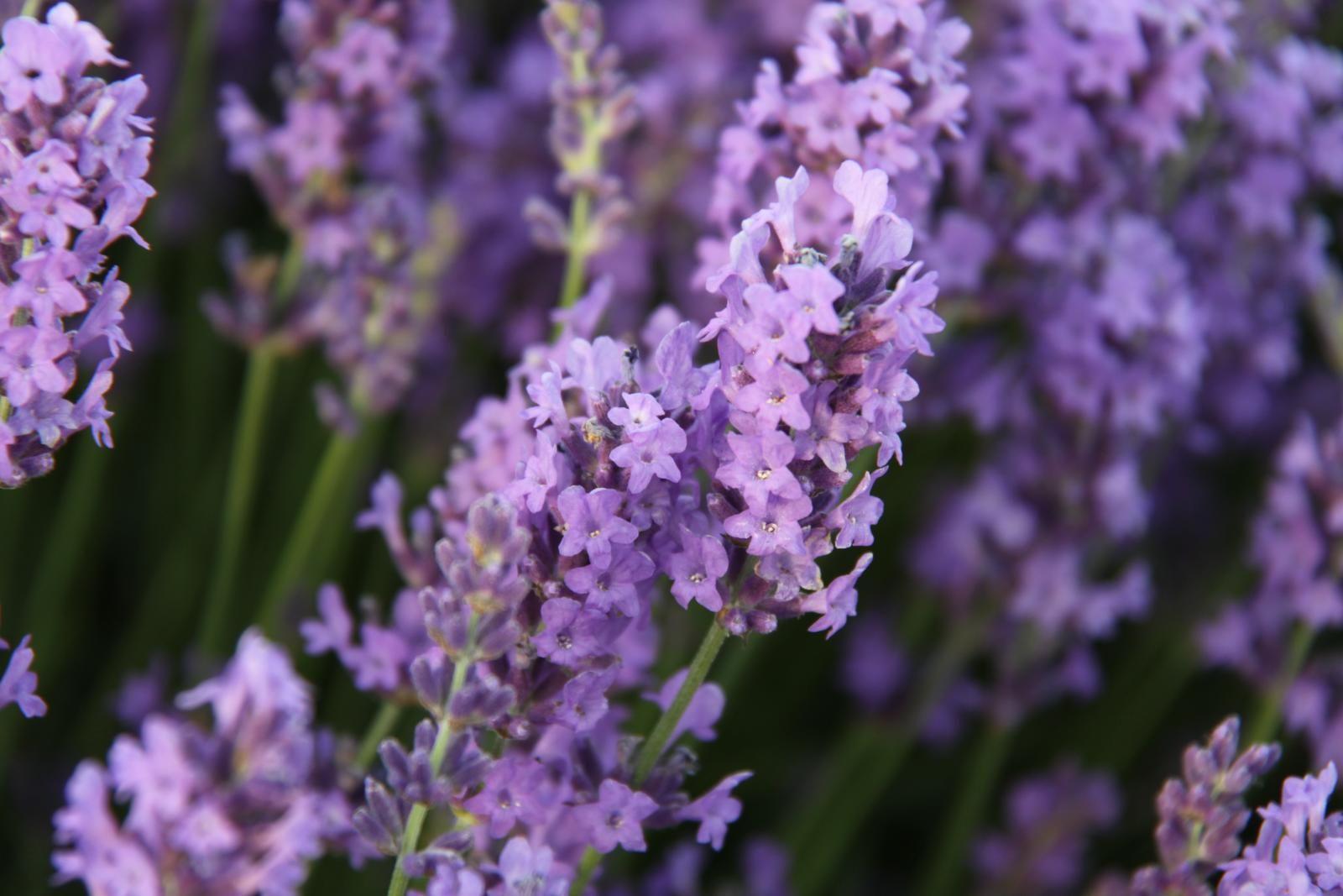 Lavender Insect Repellent Recipe Mosquito repelling