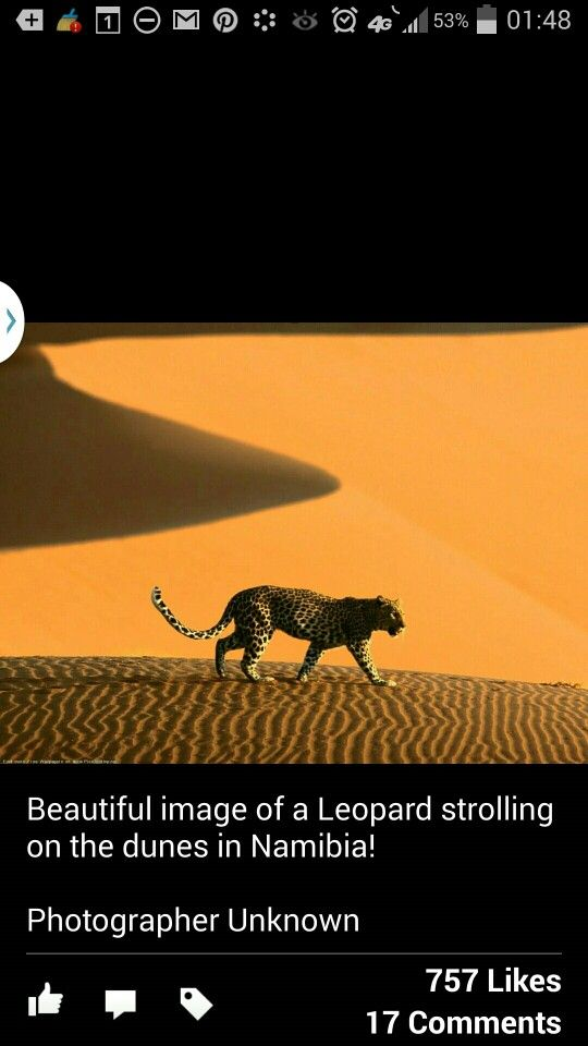 Leopard in the desert