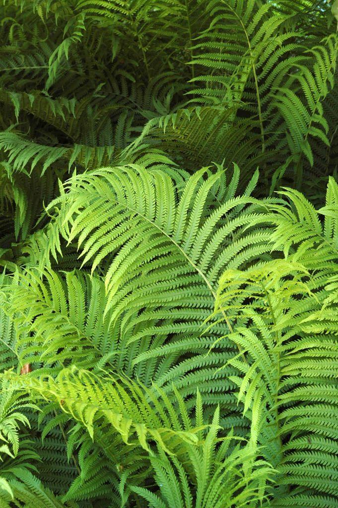 Matteuccia struthiopteris  Ostrich Fern is part of Ostrich fern, Summer plants, Ferns, Ferns garden, Plants, Invasive plants - May)
