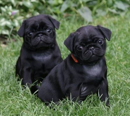 Two Pugs Are Afraid Of One Cat Black Pug Puppies Baby Pugs Pug
