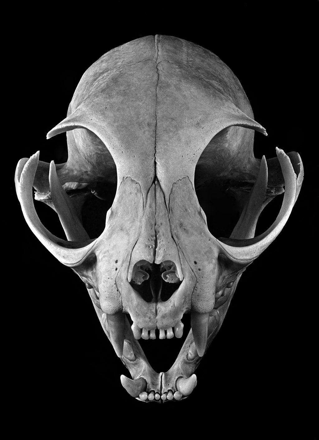 Feline Skull by Lymanjames | Skull | Pinterest | Cat skull, Animal ...