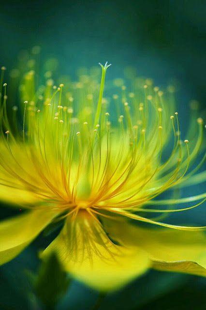 Google+ Blüte von einem Hypericum Strauch