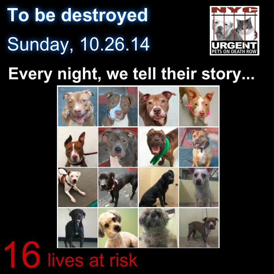 TO BE DESTROYED - 10/26/14 PITTIES ARE IN DANGER AGAIN. THERE ARE FAR TOO MANY TODAY!!! ALL THESE DOGS COUNT ON US!!! LET'S NOT LET THEM DOWN!!! PLEASE OPEN YOUR HEARTS AND PLEDGE, TAKE THEM HOME, BUT BE QUICK AS TIME IS TICKING AWAY. PLEASE BE QUICK WHEN MAKING UP YOUR MIND!!  https://www.facebook.com/Urgentdeathrowdogs/photos/a.611290788883804.1073741851.152876678058553/894185587260988/?type=3&theater