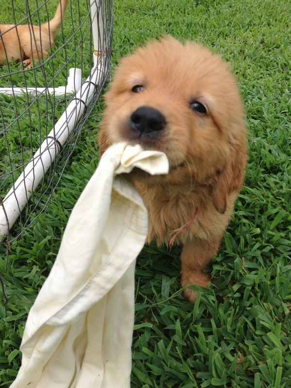 Can I Get Any Fluffier The Answer Is No Puppies Retriever
