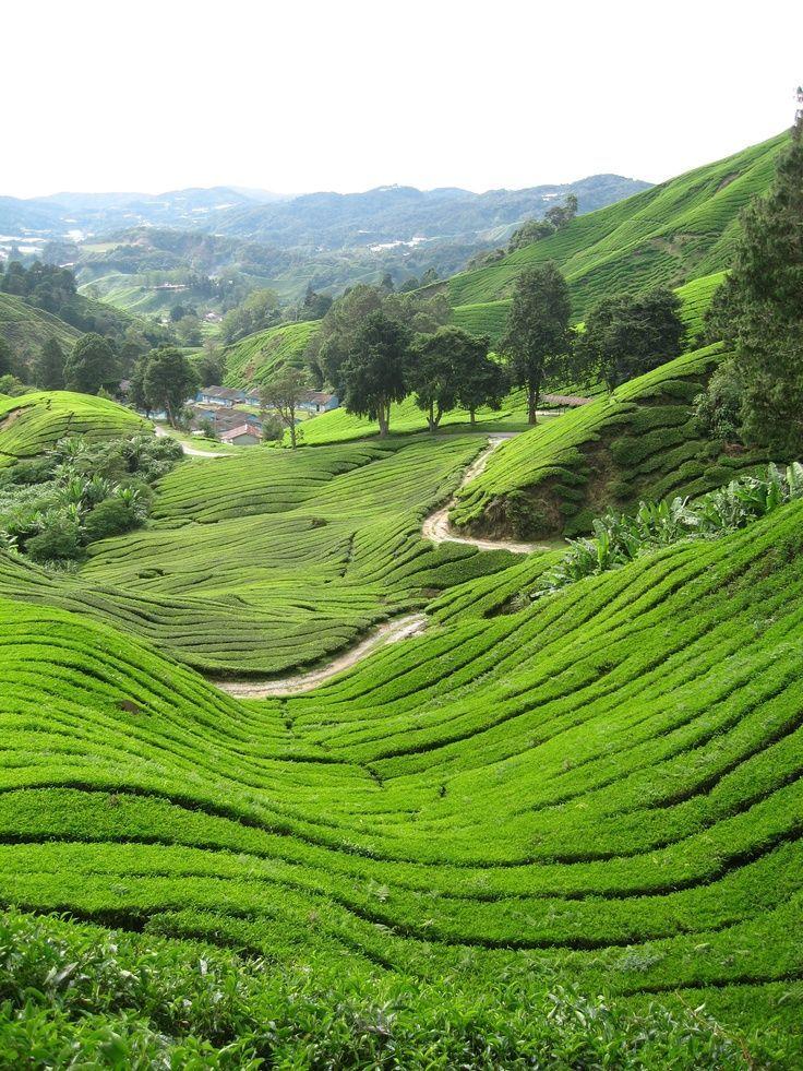 Malaysia Green tea fields Malaysia tourism, things to do