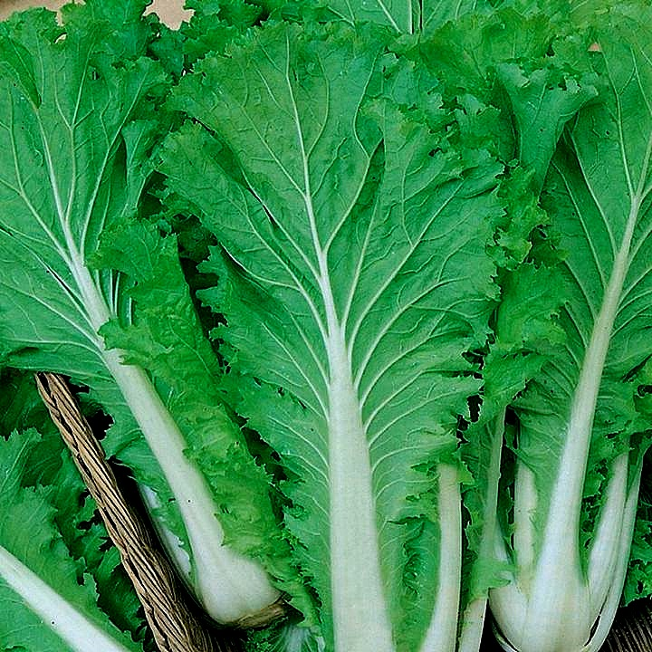 0 55 Bok Choy Pak Choy Nappa Cabbage And Many Others Are Members Of The Asian Cabbage Family Michihili Asian Cabbage Is A Cabbage Garden Seeds Plant Leaves