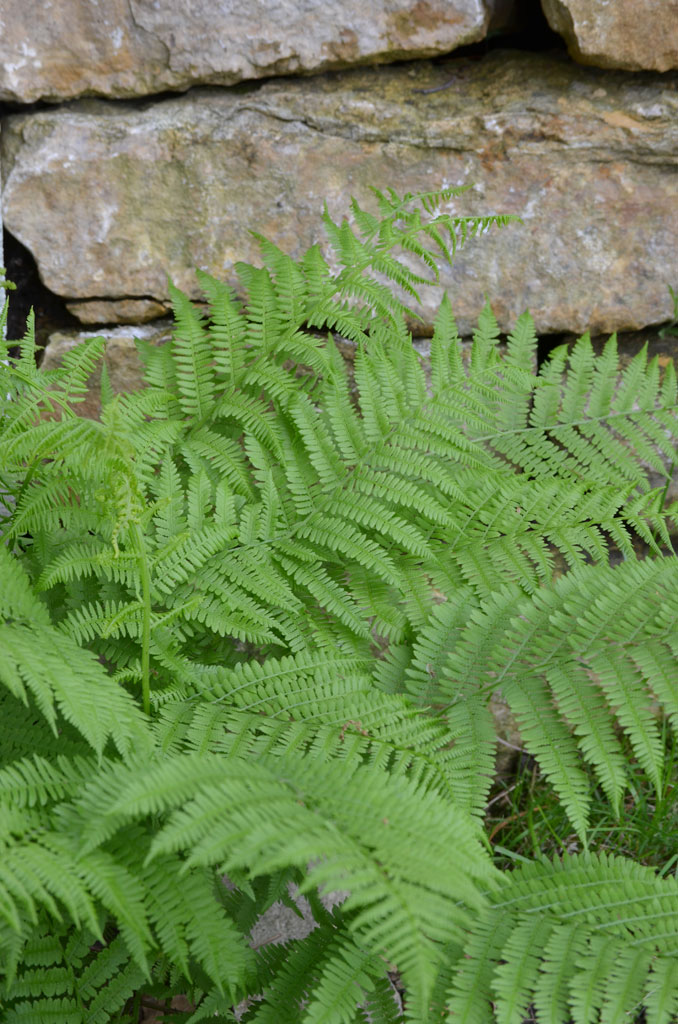 Athyrium filixfemina  Lady Fern – Lady fern