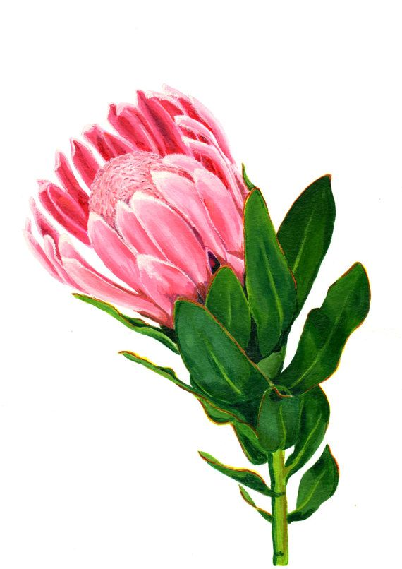 Watercolor Flower Painting Print Of An Indigenous Pink Protea From South African Flower Painting Watercolor Flowers Paintings Protea Art