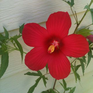 Morning hibiscus shot #2