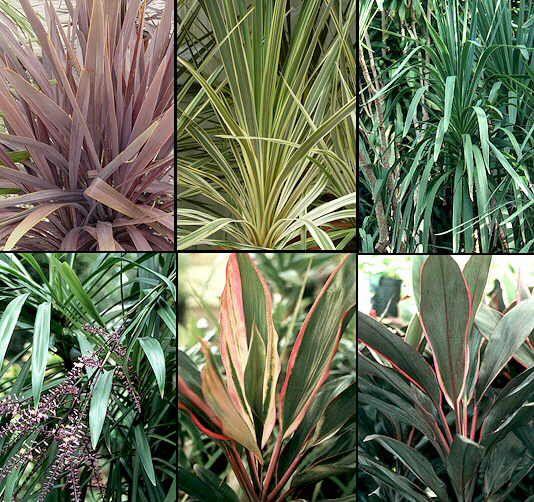 Las Dracenas Plant Leaves Plants Garden
