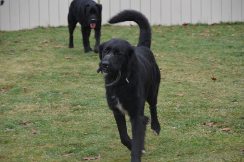 Adopt bullwinkle adopted on petfinder dog mixes