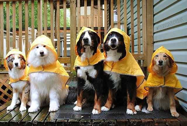 It's raining, it's pouring we'd much rather be back inside snoring.  #bernesemountaindog #bernesemountaindogs #bernese #berner #berners #bernesemountaindogsofinstagram #bernersofinstagram #ilovemydogs #dogsofinstagram #aussiesofinstagram #australianshepherds #aussiemix #aussie #aussies #samoyeds #samoyed #samoyedzero #samoyedsofinstagram #vancouverdogs #vancitydogs #ohhnavi #weeklyfluff #ig_cutestanimals #cutedogs #houndsbazaar #bestwoof #dogfeatures #dogsofinstaworld #igfluff #rcpetproducts