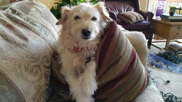 Meet Vinny, a Petfinder adoptable Cockapoo Dog | West