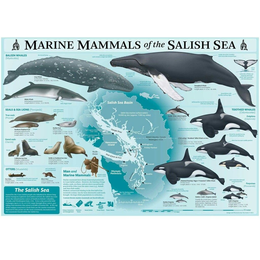 illustration of the Marine Mammals of the Salish Sea by