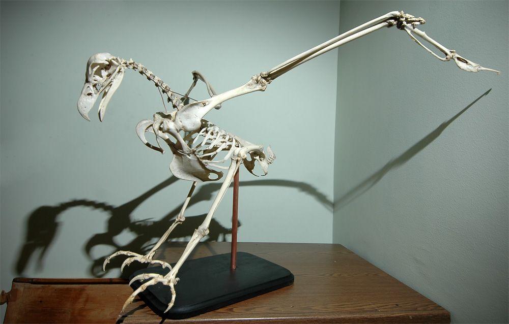 скелеты птиц фото самом открытие был