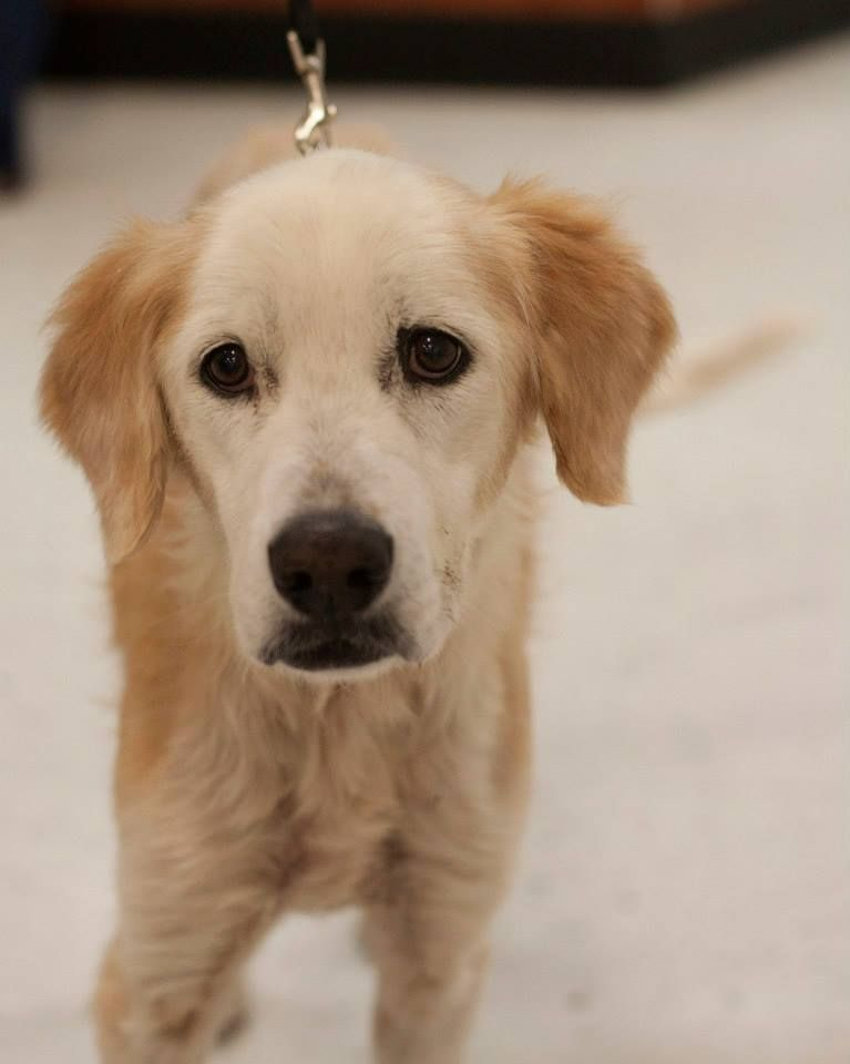 Adopt betty on petfinder golden retriever rescue dogs
