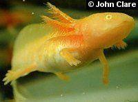 Golden Albino Axolotl