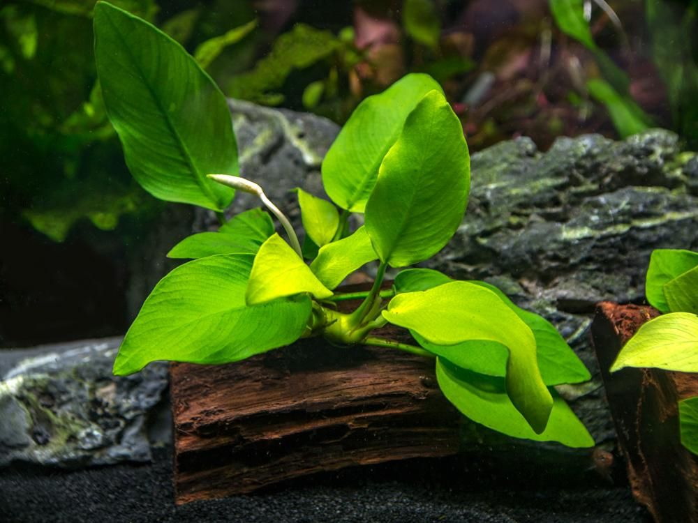 Golden Anubias Nana Anubias Barteri Var Golden Nana On 3 Inch Driftwood Planted Aquarium Plants Driftwood Decor