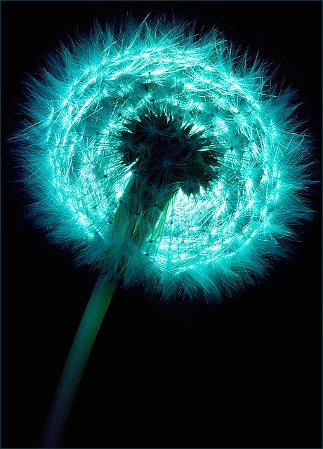 Dandelion dans la lumière bleu vert