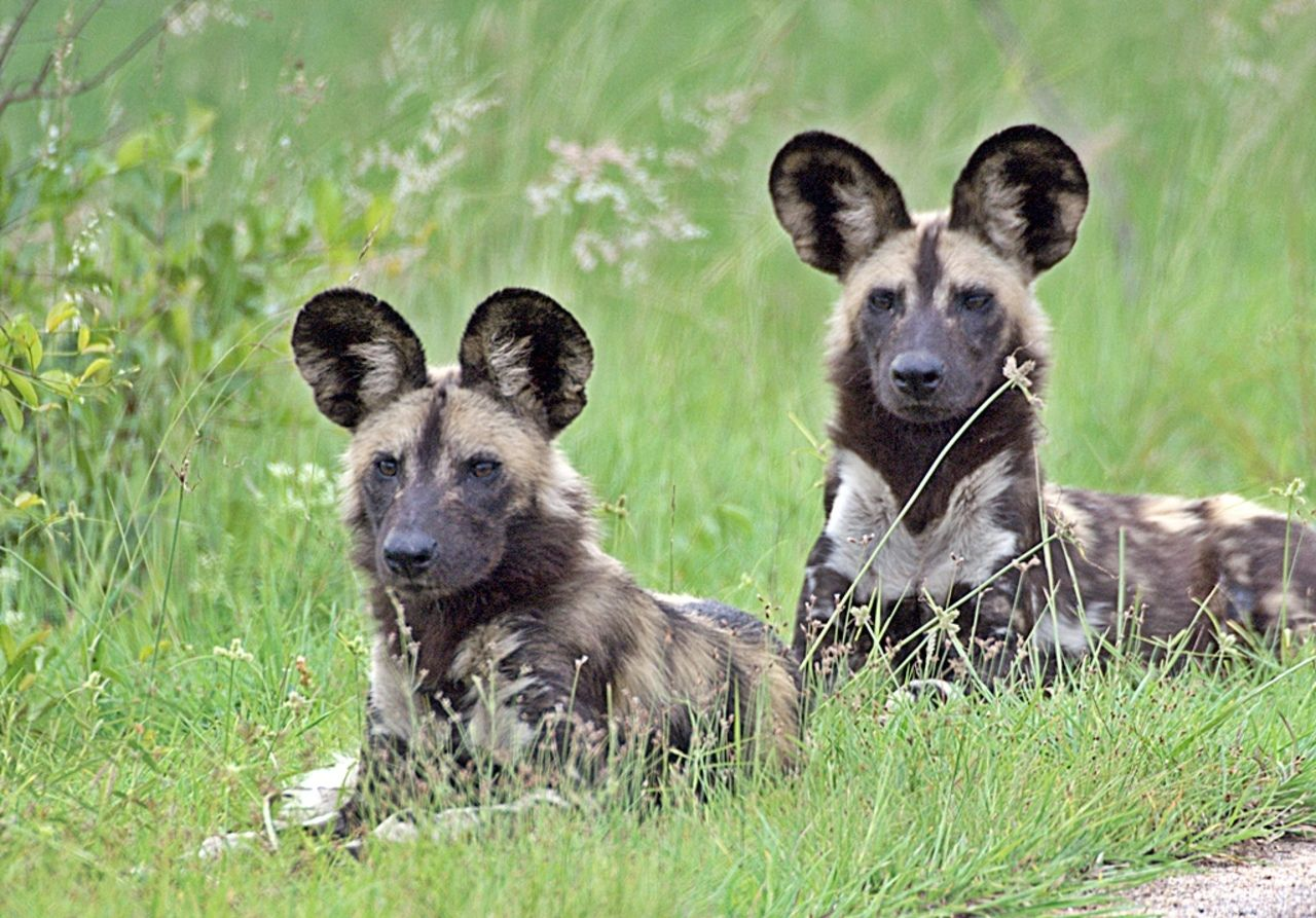 African wild dog (Lycaon pictus) African wild dogs