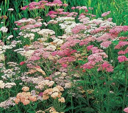 Yarrow Achillea millefolium Colorado Mixture
