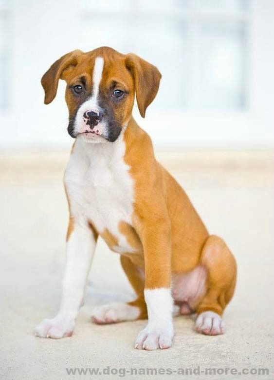 Popular Boxer Dog Names For Your Male Or Female Boxer
