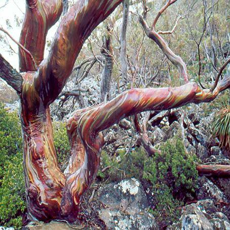 Eucalyptus Coccifera Tasmanian Snow Gum Australian Native Plants Australian Plants Eucalyptus
