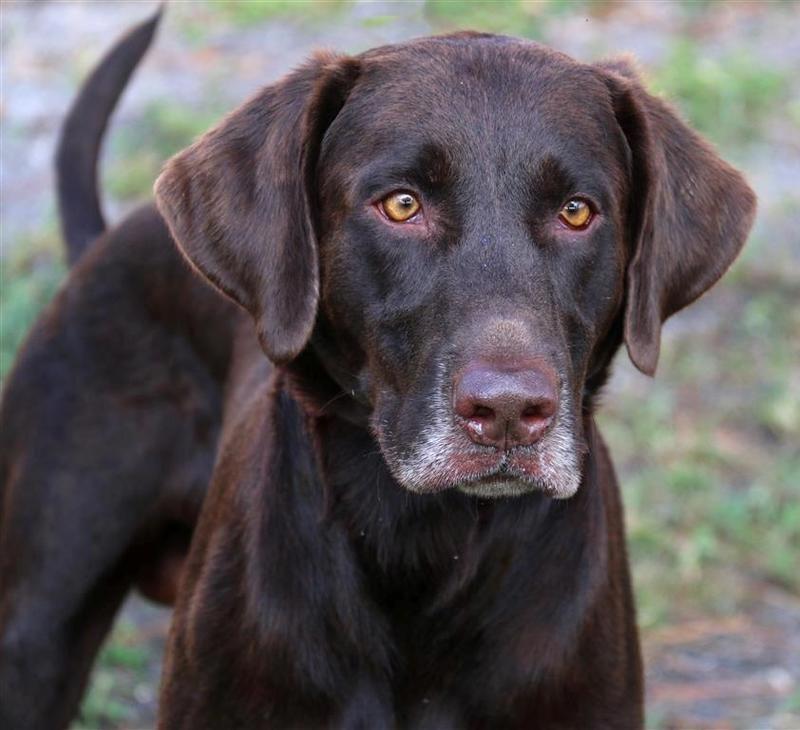 Adopt Rudy On Petfinder Labrador Retriever Rescue Labrador Retriever Labrador Retriever Dog