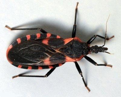 Stay Away From This Torah Kachur Kissing Bug Chagas Disease