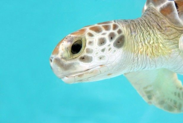 Sea Turtle Study Reveals The Mystery Behind Lost Juvenile Years ...