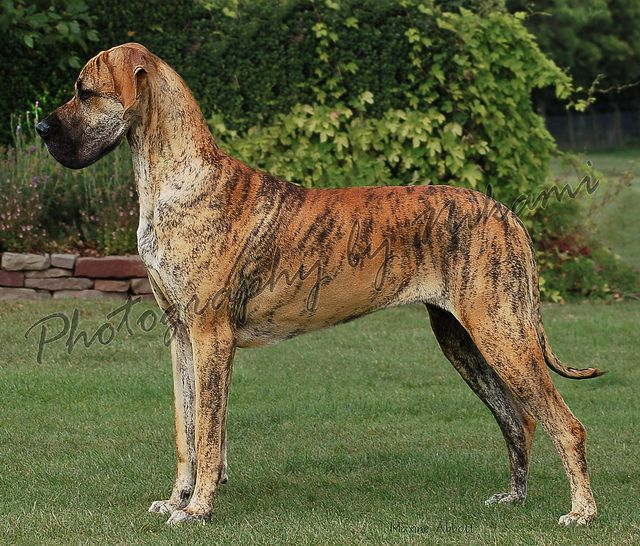 Brindle Great Dane Brindle Great Dane Great Dane Dogs Akc Breeds