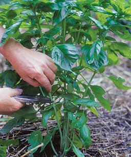 Basil Basics:  Prune basil regularly for best flavor.  About every four weeks, prune basil back to just above the bottom two sets of leaves.  If allowed to flower, it will lose flavor.  From Fine Gardening.