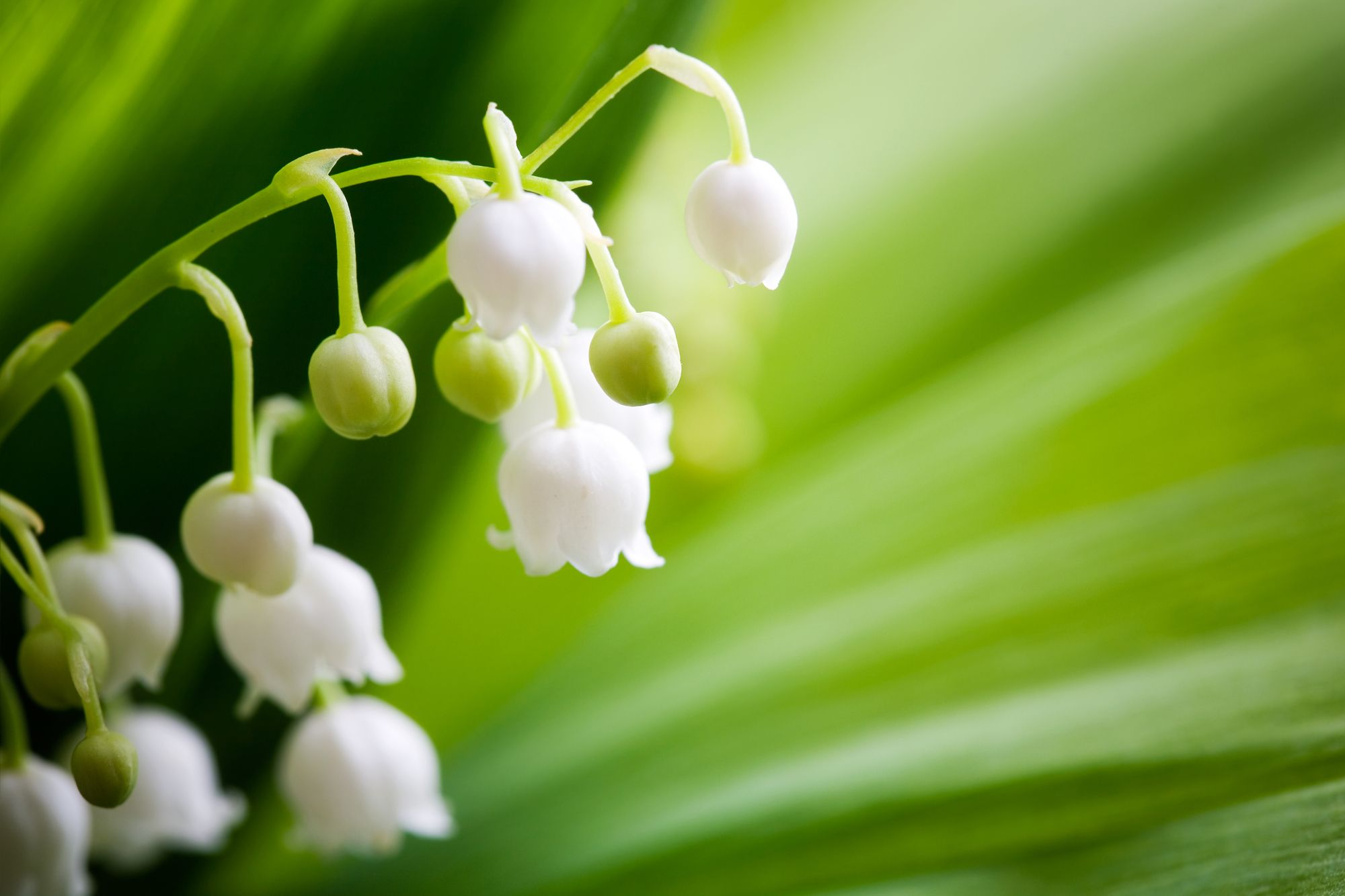 Symbolism of Maiglöckchen, Lily of the Valley, in Germany