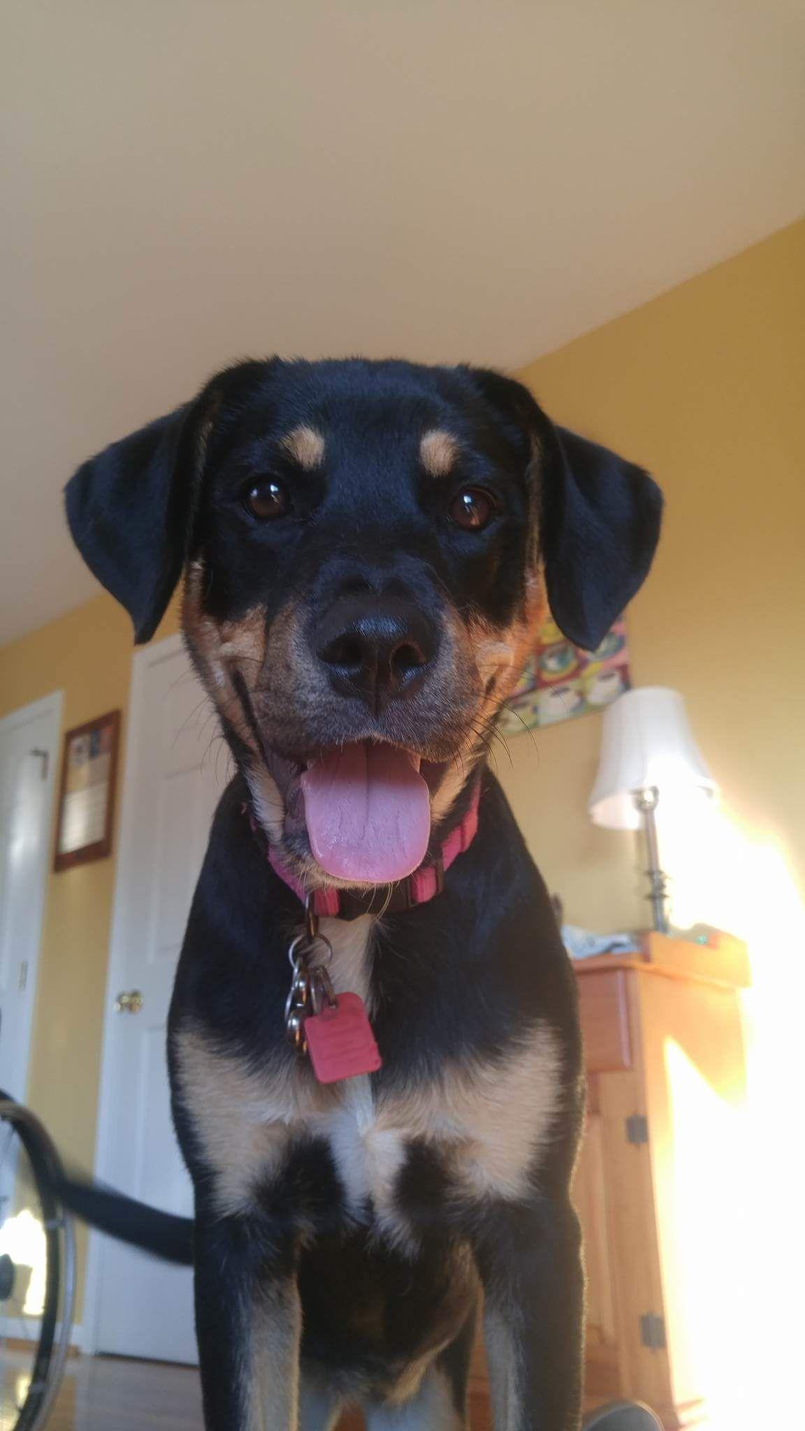My Parents 6 Month Old Rottweiler German Shepherd Mix Leila Isn T She Cute Http Ift Tt 2e3ukt0 Rottweiler German Shepherd Rottweiler Mix Rottweiler Mix