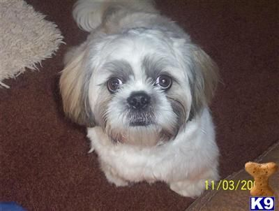 Black And White Shih Tzu Dogs Doncaster United Kingdom Shih
