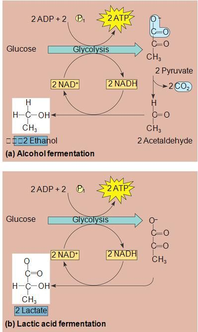 glycolysis and fermentation relationship tips