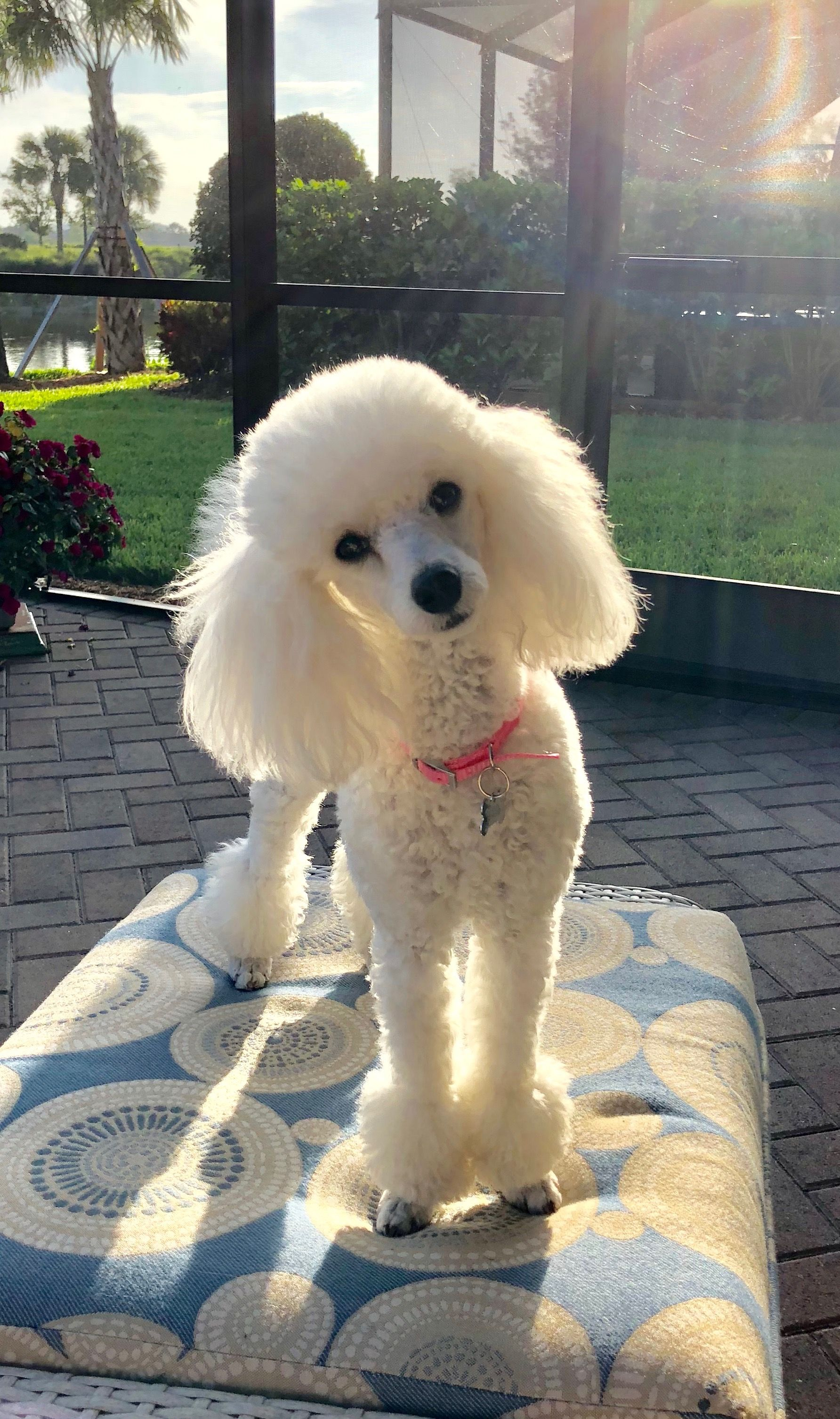 Beautiful Tres Jolie May 5 2018 French Poodle Perros Caniche