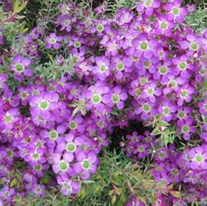Leptospermum a low spreading shrub with masses of purple for Low growing flowering shrubs