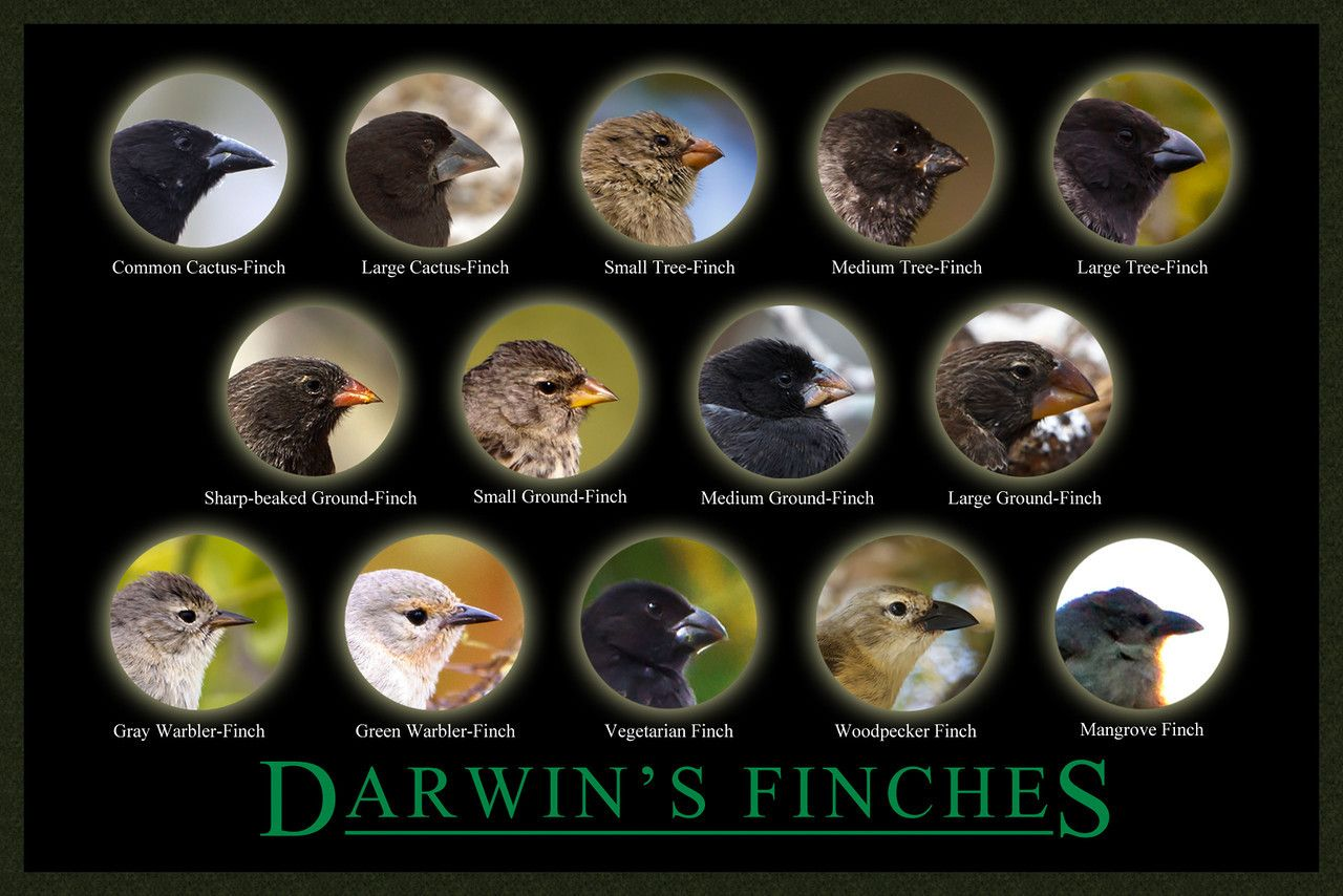 Darwins Finches With Images Galapagos Finch Galapagos Islands