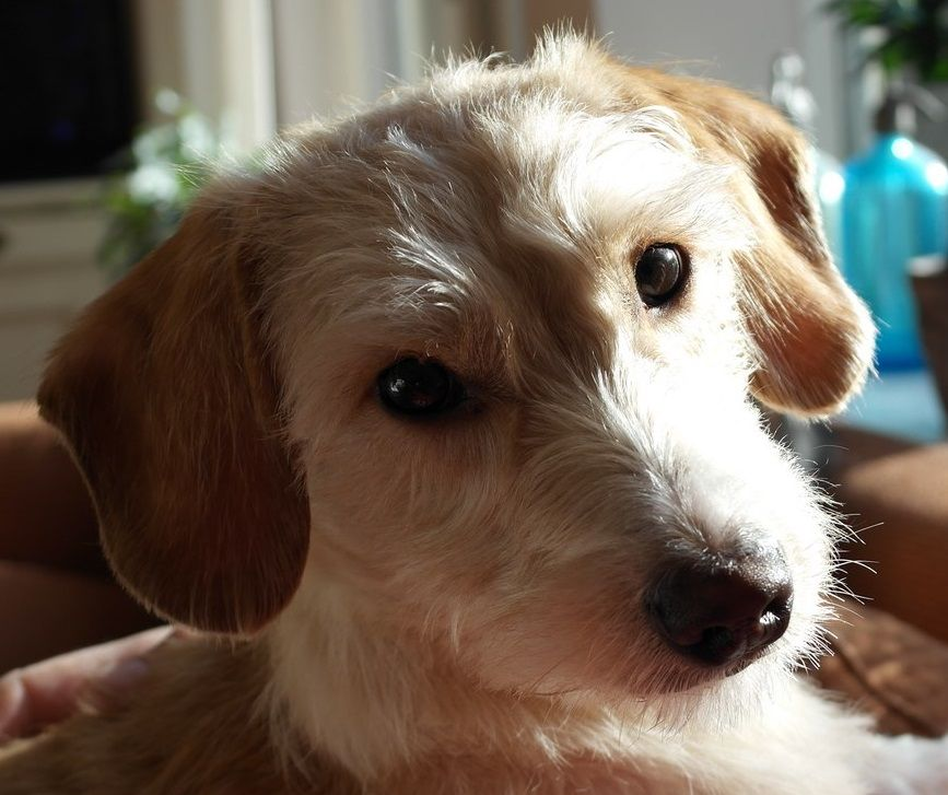Charlie A Mauxie Dog Maltese X Dachshund Mix Doxie Dogs
