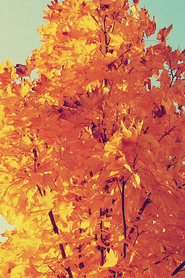Colorful Autumn Tree Leave #iPhone #4s #wallpaper